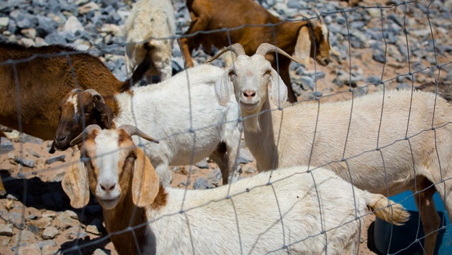 Several of the 40 goats at the Las Cruces Dam placed there for weed and vegetation control by the City of Las Cruces, May 27, 2016.