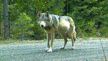 A gray wolf was spotted in Southern Oregon.