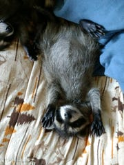 A baby raccoon lays on a bed.