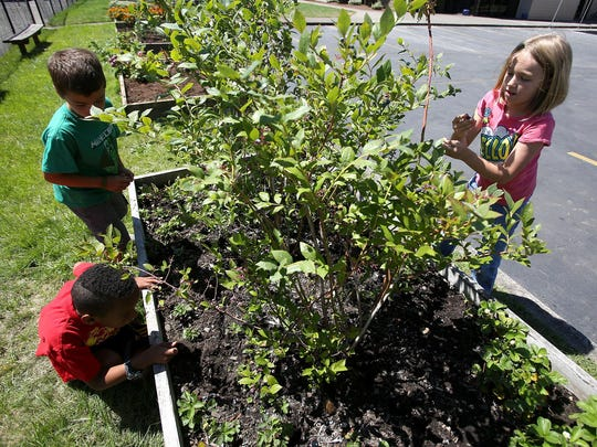 Jordyn Roy, right, 8, picks blueberries along with Oliver Neal, 8, and Alex Stevens, 7, at the Boys and Girls Club on Tuesday, July 14, 2015, in Salem.
