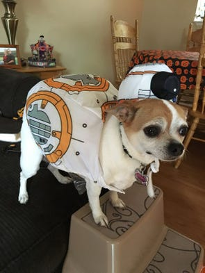 Our sweet rescue chihuahua Bee Bee is going to be BB-8
