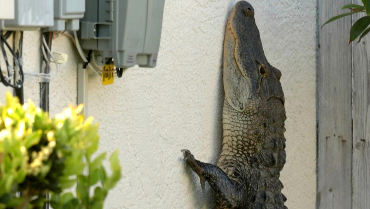 Florida's alligators are more active and territorial during mating season.