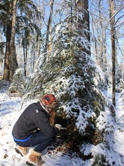 Courtney Lewis cuts down a Christmas tree in the Northern