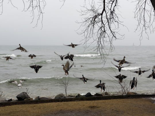Ducks fly away when people got too close near North Point Tuesday February 7, 2017 in Sheboygan.