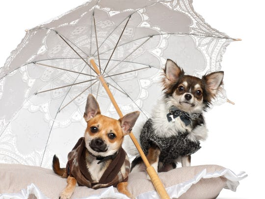 Judges for the Best Dressed Chihuahua contest look for creativity and uniqueness.