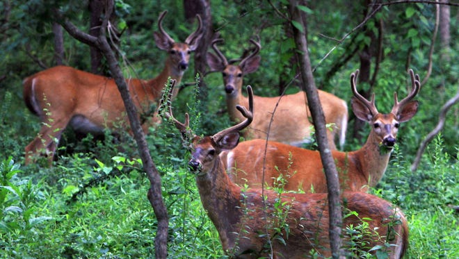 A group of bucks gathers in the woods off Route 121 in North Salem.