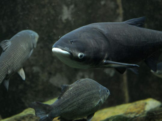 Asian Carp | Study Walleye Trout Will Be Hardest Hit By Asian Carp