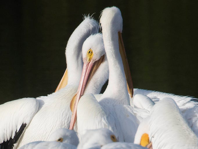 A flock of American white pelicans preen and rest on