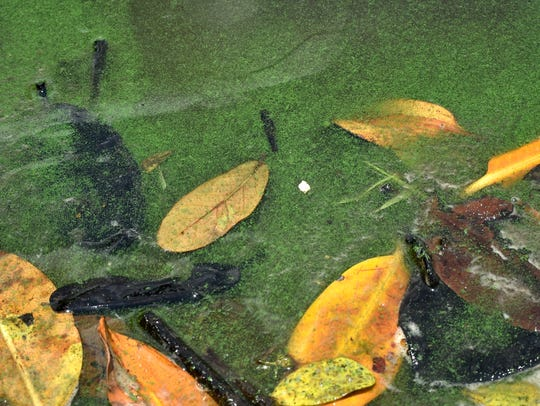 Algae is seen among the leaves and twigs in the water