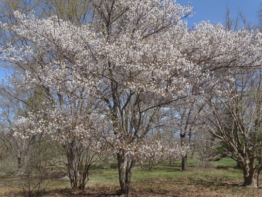 A 'Sargent' variety of Japanese flowering cherry tree