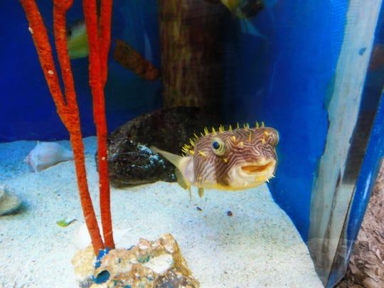 A puffer fish at Mote Aquarium in Sarasota.