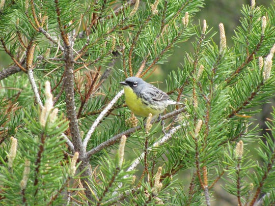 The Kirtland's warbler is an endangered songbird that summers in the jack pine forests of northern Michigan. In the 1980s it was nearly extinct, but aggressive conservation efforts have helped grow the population.