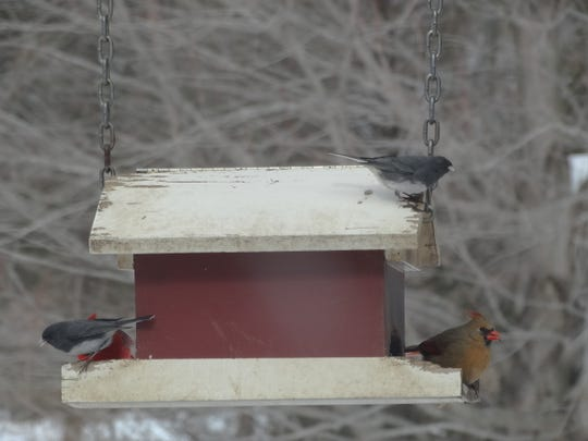 A variety of colorful birds flock to a bird feeder in a Chester backyard.