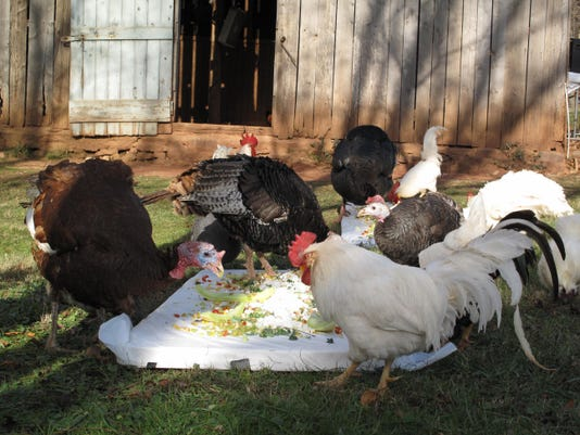 Turkeys and roosters feast during the 11