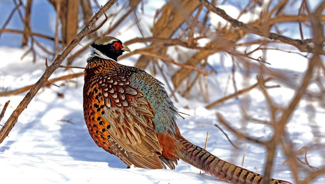 FILE - In this undated file photo, a pheasant walks through the snow in Minnesota. Minnesota opens its pheasant season Saturday with far fewer birds in the field than last year as a long-term decline in the state's ringneck population continues due to the loss of habitat in farm country.