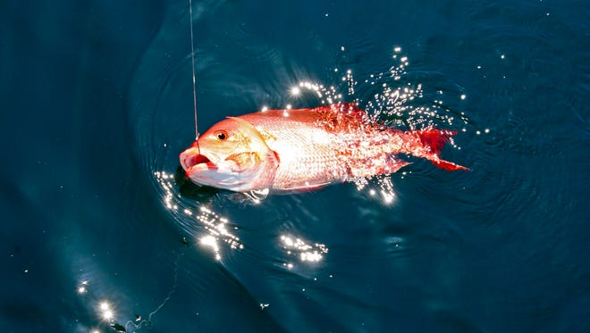 Texas anglers may continue catching the popular reef fish, red snapper, in federal waters until 12:01 a.m. Aug. 22.