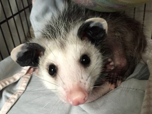 636615533430485280-BabyPossum-copy.jpg