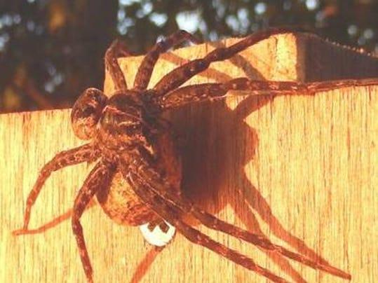 Photo 1 -- giant spiders