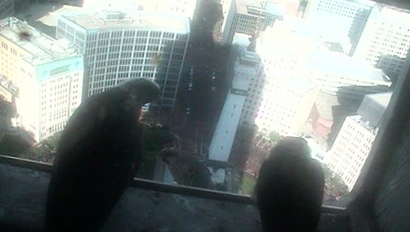 The three young falcons look out on Monument Circle.