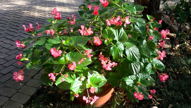 Dragon Wing begonias are more tolerant of shade, but most flowering plants perform better with at least a half-day of sun.