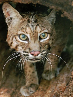 A squirrel hunter at Fernwood State Forest in Jefferson County claimed self-defense when he killed a bobcat, but Ohio Division of Wildlife officers determined otherwise.