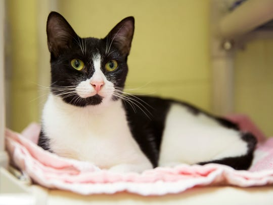 Misty Mae, a cat with seizures, in the Cozy Care program, is available for adoption at the Humane Society Naples. Someone who adopts a cat in the Cozy Care program will receive supplies and financial support that helps to cover the first year of medical expenses.
