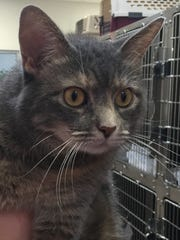 Tish came into the shelter as a stray, but she was already spayed. This 4-year-old dilute tortie/tabby girl is super nice and just wants attention. Tish is looking for a loving home where she can rule the roost and be pampered!