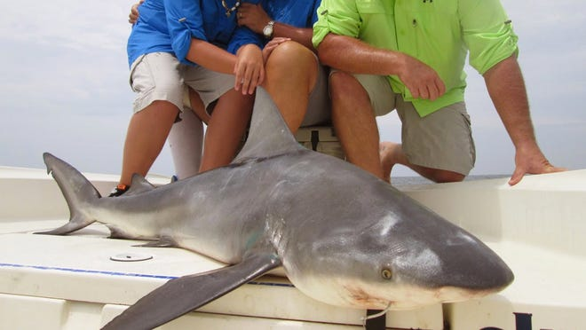 Sharks in the 100-pound range have been caught this week.