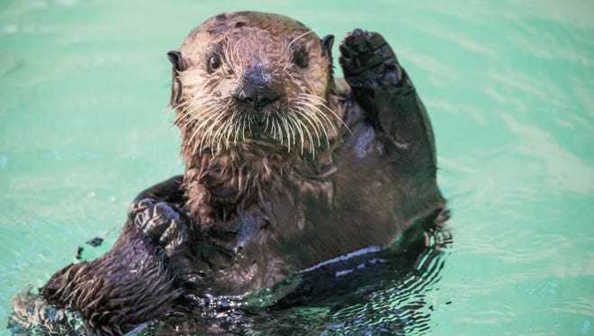 Five month old sea otter rescue pup, Juno, in quarantine after arrival at the Oregon Zoo.
