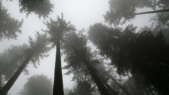 Giant redwoods climb toward the foggy sky in Redwood National Park.