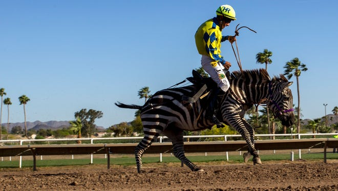 A jockey rides a zebra during a race on Saturday, Mar. 26, 2016 at Turf Paradise in Phoenix.