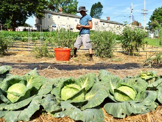 Seasonal helper Erick Negron trims onion tops and roots