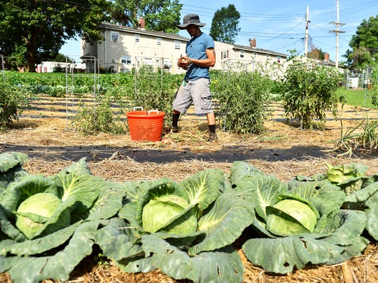"Seasonal helper Erick Negron trims onion tops and roots Monday, July 31, 2017, at York Fresh Food Farms' urban farm on Willis Road in York. York Fresh Food Farms, managed by Bruce Manns, is a nonprofit that operates one farm plot in the Parkway neighborhood and will soon cultivate a larger plot off Roosevelt Avenue. Much of the produce is distributed through three stores in the city to alleviate food desert issues, in a partnership with the York City Bureau of Health, while the rest is sold to local restaurants or donated to shelters, missions or other nonprofit organizations. ""Food is a common denominator in so many things. It's like a peace thing,"" Manns said. ""And that's what I like to do. There's a need for it."""