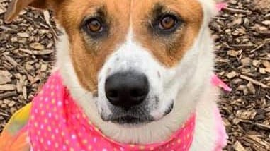 Shelter: PA; Name: Bonnie; Breed: Shepherd mix; Gender/age: F, 1; Neutered/spayed: Yes; Housebroken: Almost; OK with kids: Yes; Special needs: None; Other: Silly, playful and walks great on leash.