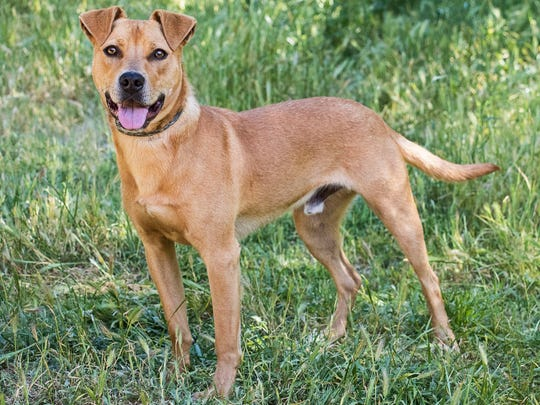 Red, 1-year-old male Labrador mix dog. No. 99727.