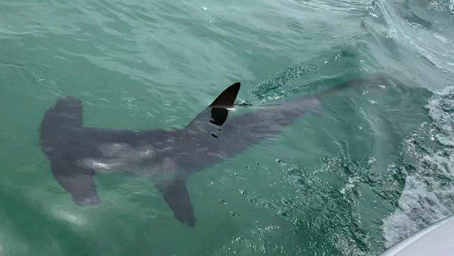 A smooth hammerhead shark photographed swimming Saturday about a half-mile off Monomoy in Chatham. Hammerheads are warm water species that are being seen in local waters more frequently in recent years.