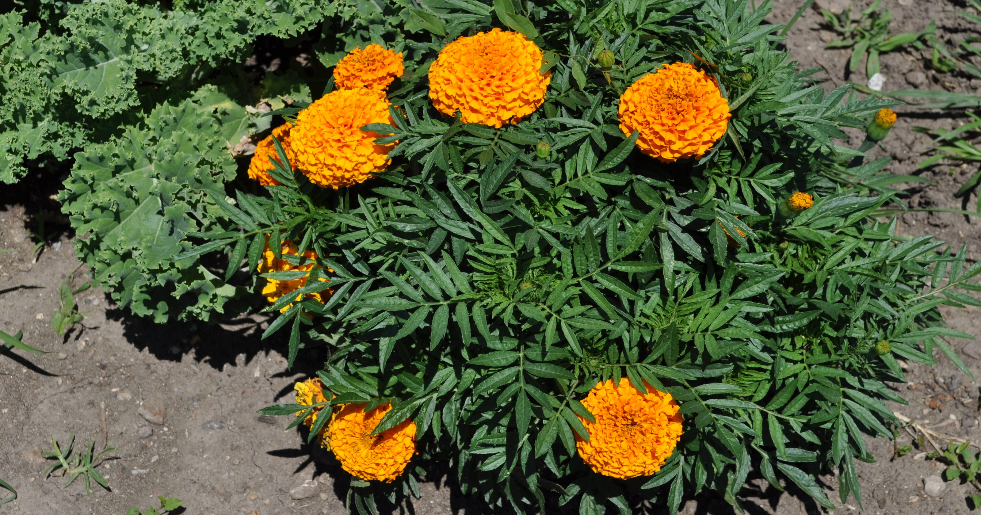 Dr Dirt Marigolds Are Pretty But Won T Repel Insects