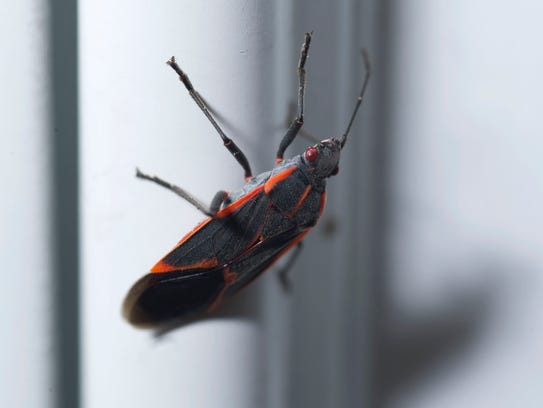 The Boxelder bug