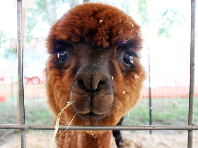 Day number two of the  76th annual Middlesex County Fair held at the Middlesex County Fairgrounds in East Brunswick.  Here an Alpaca from Riptide Farms looks out form it's pen inside of the 4-H Livestock tent.    On Tuesday August 5,2014 Photo: Mark R. Sullivan/Staff Photographer