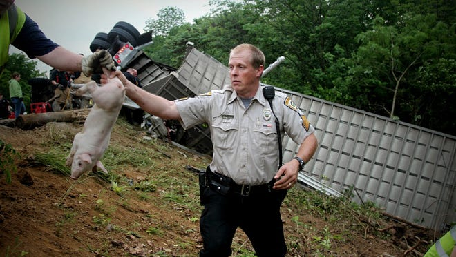 An officer passes off a pig after a semitrailer overturned on a highway carrying about 2,200 pigs in Xenia Township, near Dayton Monday, June 8. Numerous agencies worked to corral the animals after the crash on U.S. Route 35. (