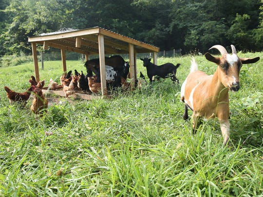 Farm animals at The Food Initiative Farm, which is celebrating its 10th year.