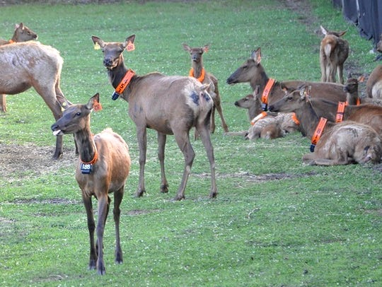 Elk imported from Kentucky were released in Jackson