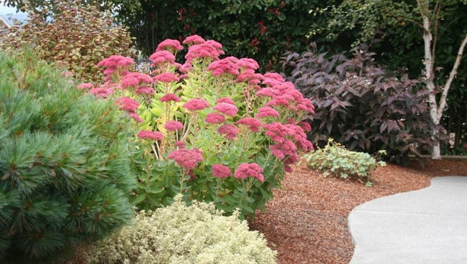 Sedum 'Autumn Joy' – Another succulent makes the list with its abundant clusters of rose-maturing to copper-flowers.  Upright stems create a unique texture within the landscape or in pots.  A noteworthy plant to consider.