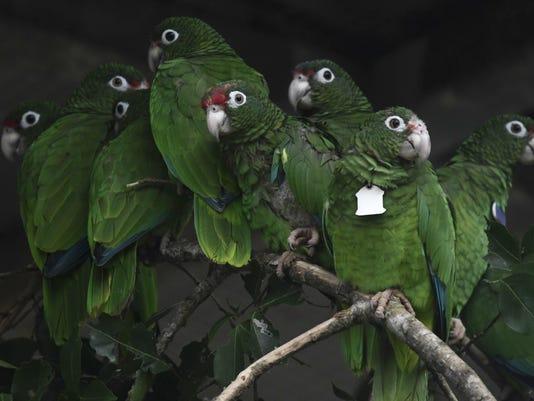 APTOPIX Puerto Rico Saving Parrots