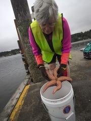 Volunteer Mary Ann Tiffany examines a sea star pulled