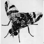 Arizona Republic, 1982 Animals-Insects, Mediterranean Fruit Fly Photo by file photo Scanned by Digital Migration bw print