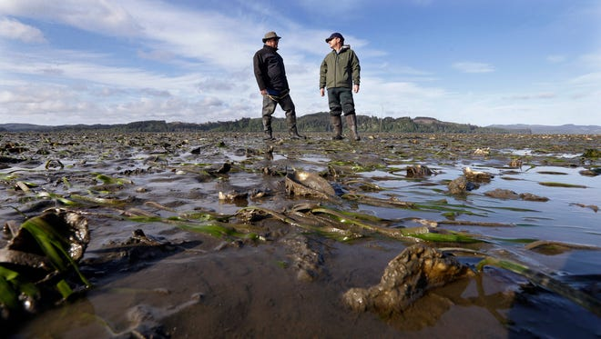 "In this May 1, 2015 file photo, Don Gillies, left, who farms about 45 acres of oysters, and Eric Hall, a manager for Taylor Shellfish, stand at low tide on an oyster bed of yearlings, growing on the large ""mother"" shells planted throughout the bed in Willapa Bay near Tokeland, Wash. A national food group is suing the U.S. Army Corps of Engineers, alleging it is allowing commercial shellfish aquaculture to expand in Washington state without adequate environmental scrutiny. The lawsuit was filed Thursday, Aug. 10, 2017 in federal court in Seattle."