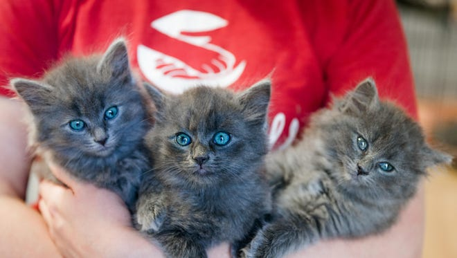 Three kittens needing adoption at Brother Wolf Animal Rescue. The nonprofit no-kill shelter received unanimous approval from the city's Downtown Commission Friday morning to amend the wording of a zoning ordinance to open a cat cafe.