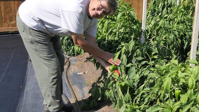 Marilyn Johnson, of Rabbit Patch Garden, picks peppers in her backyard garden in Hutchinson.