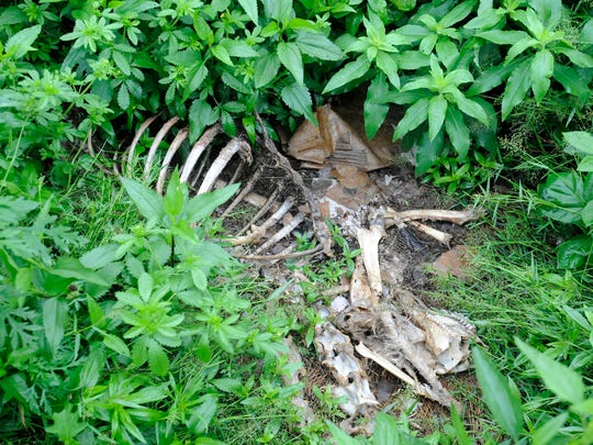 The remains of a deer are seen Monday along the shore of Bull Shoals Lake near the McDonald Meadows area of Bull Shoals. A number of residents in the area are concerned about what they say has become a deer dump.